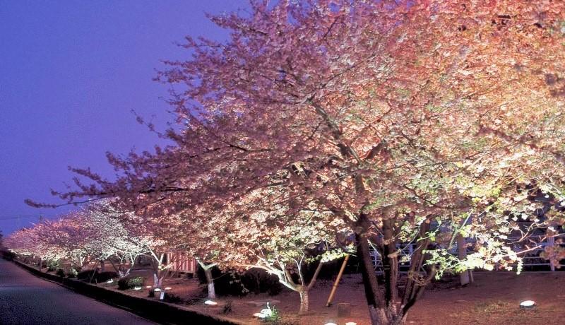 河津夜桜 (3)