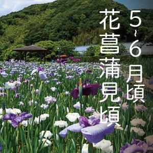 花菖蒲見頃(5月 ~ 6月中旬)