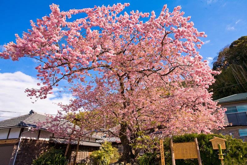 sightsee_sakura2-L