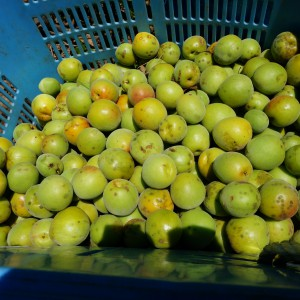食を育する:梅採り