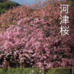 河津桜 そろそろ見ごろです? 2月15日現在~八分咲き~