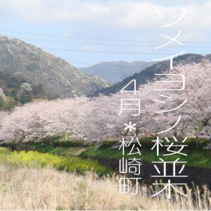 ソメイヨシノの桜並木 と お花畑 in 伊豆 松崎町